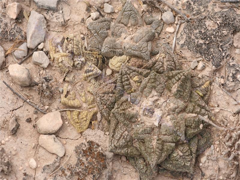 Ariocarpus fissuratus2