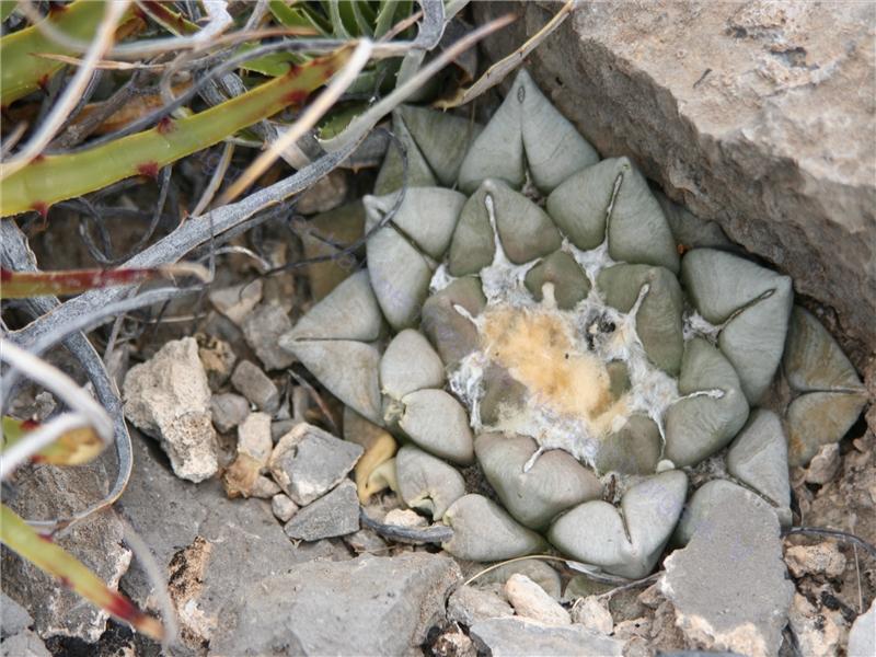 Ariocarpus spec nov