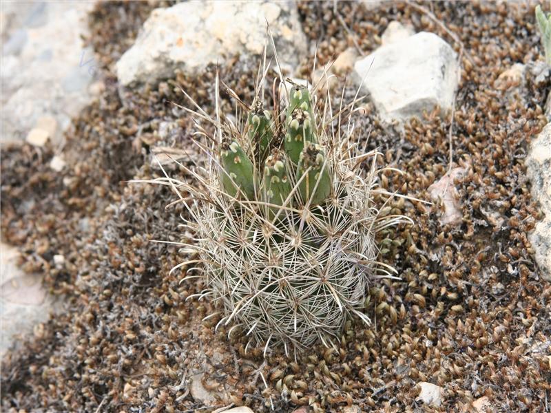 Glandulicactus uncinatus var. wrightii