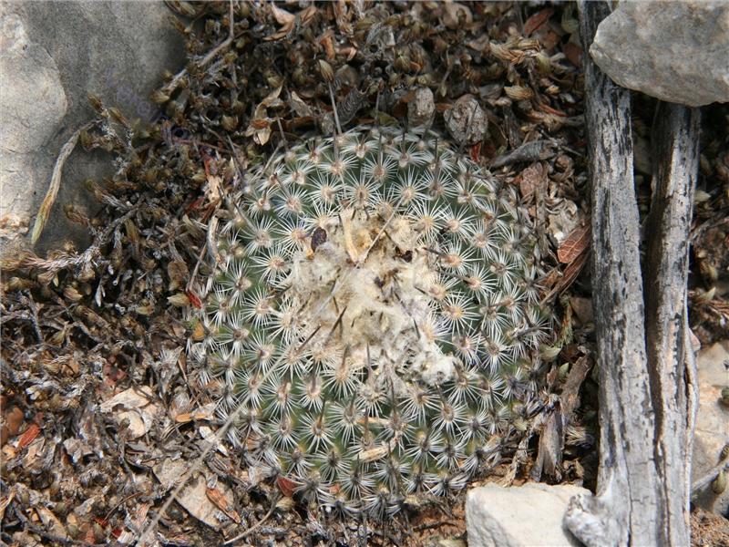 Gymnocactus septentrionalis