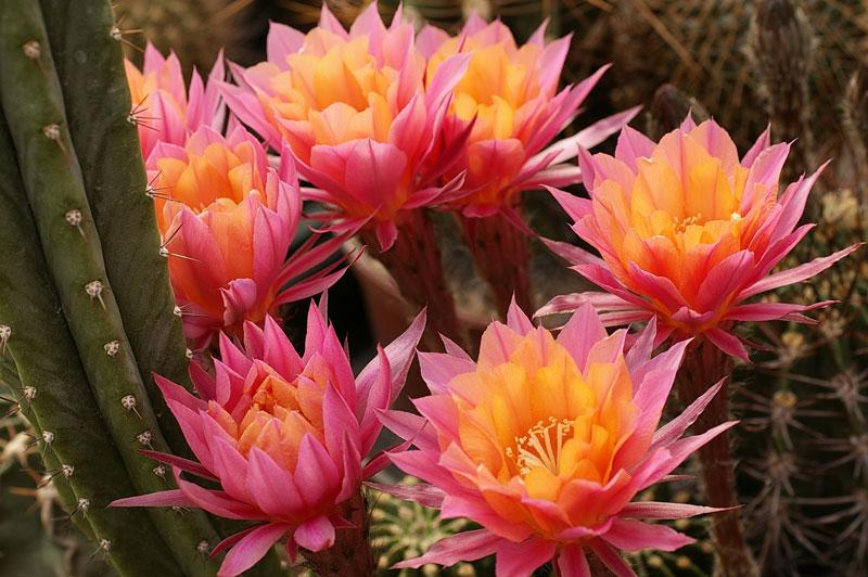 Echinopsis morgenzauber
