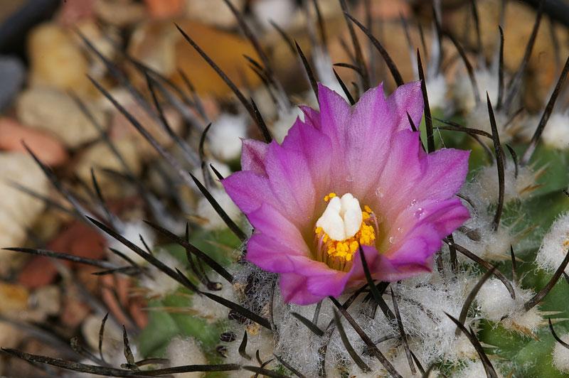 Gymnocactus roseiflorus-1