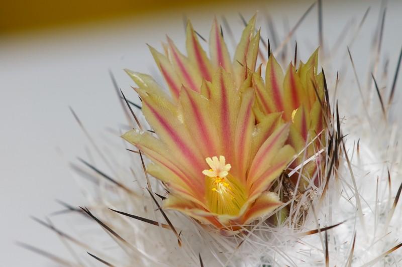 Gymnocactus zaragosae
