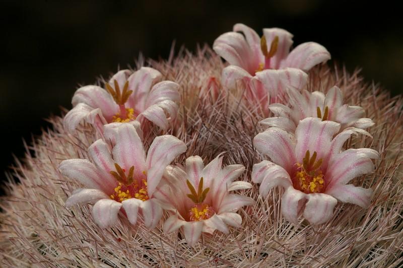 Mammillaria candida 2
