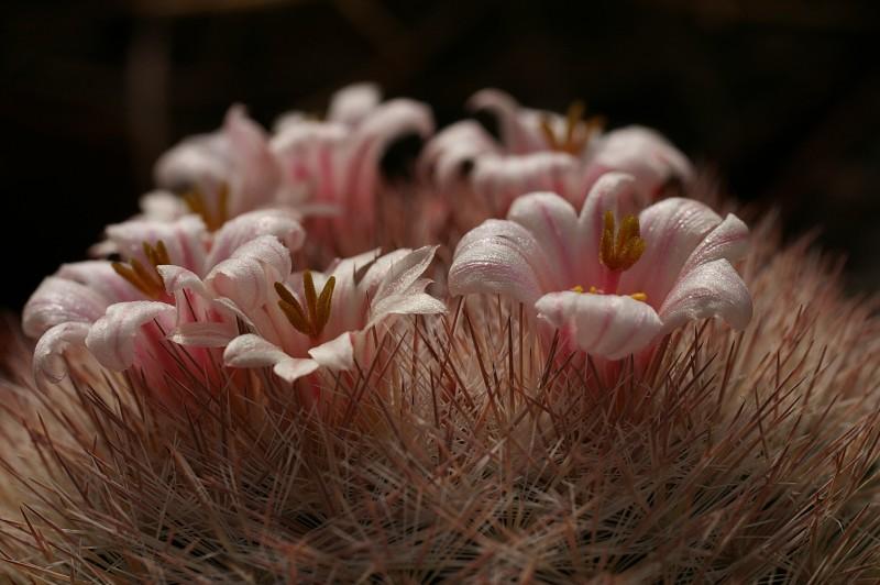 Mammillaria candida
