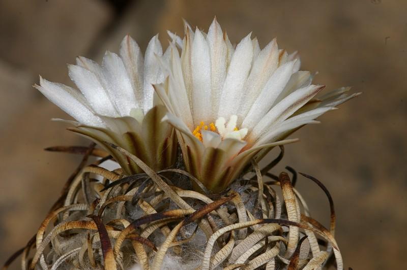 Turbinicarpus schwarzii-1