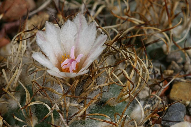 Turbinicarpus schwarzii-2