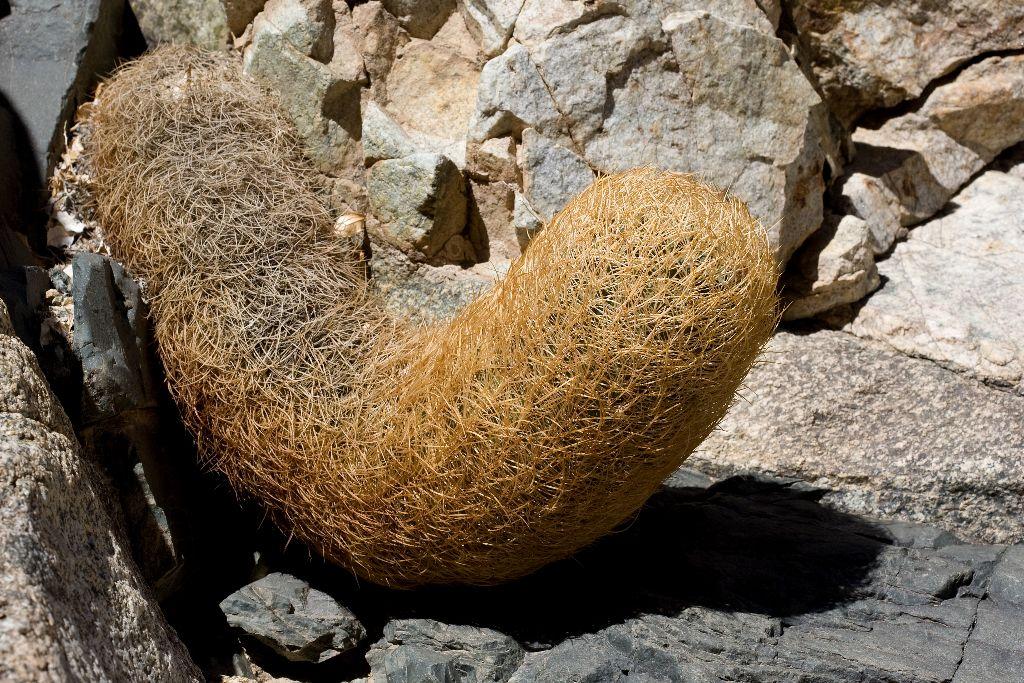 266 Neoporteria eriosyzoides, Elqui-Tal, Chile