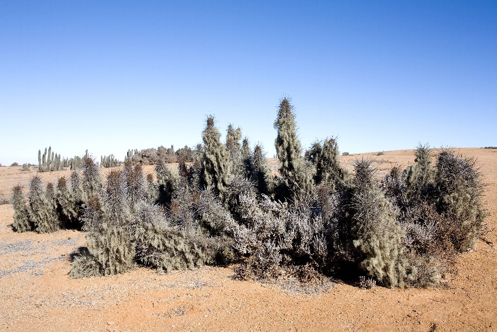470 Echinopsis deserticola mit Flechten, Nationalpark Pan de Azucar, Chile