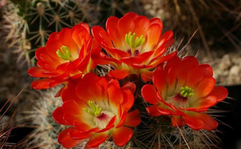 Echinocereen und andere Blütenwunder